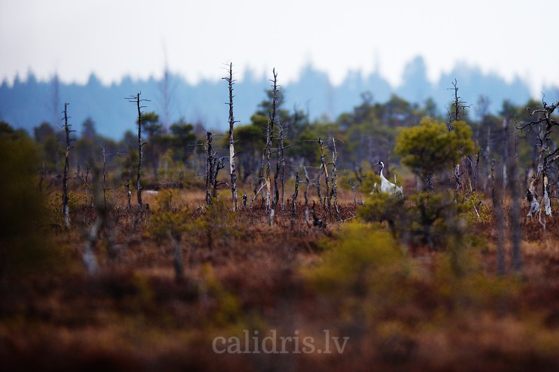 Common Cranes walk in Great Kemeri Marsh among burned down trees