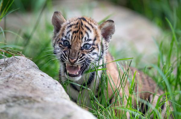 Tiger cubs (3/29/19)