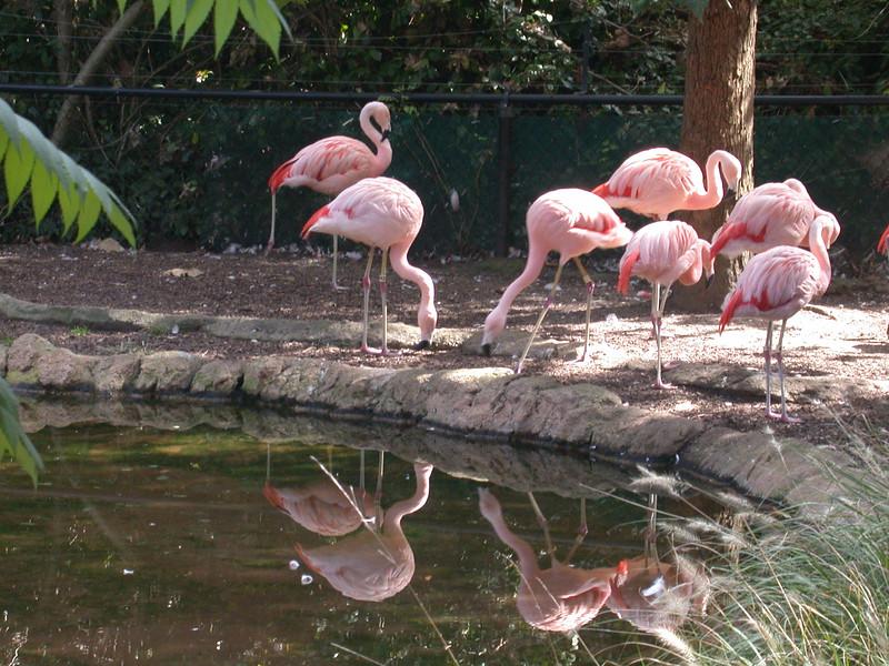 Flamingos, NC Zoo_25064788.jpg