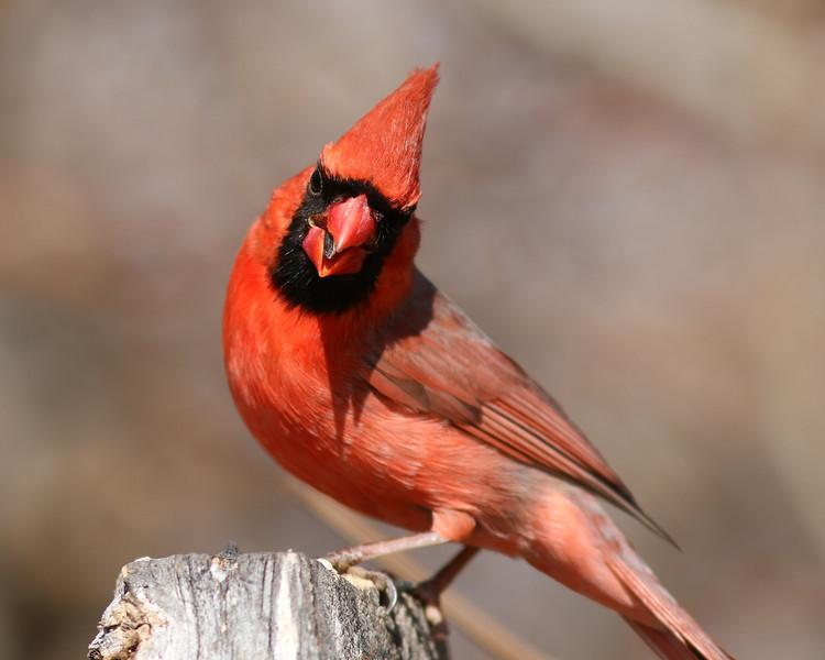 A male cardinal At the Elizabeth A Morton National Wildlife Refuge.