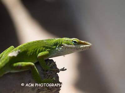 Frogs - Lizards