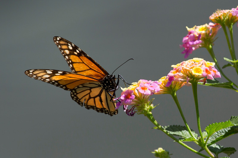 Monarch on the edge of the lantana