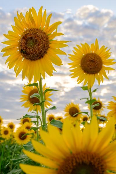 20190824 Burnside Farms Sunflowers 056-HDR.jpg