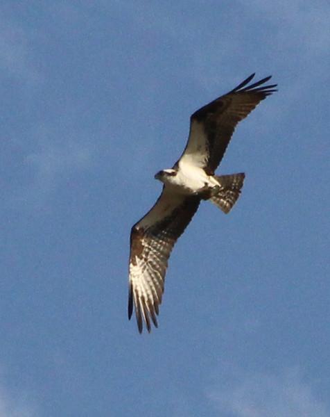 osprey 4.jpg