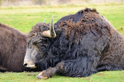 Highland Wildlife Park, Scotland