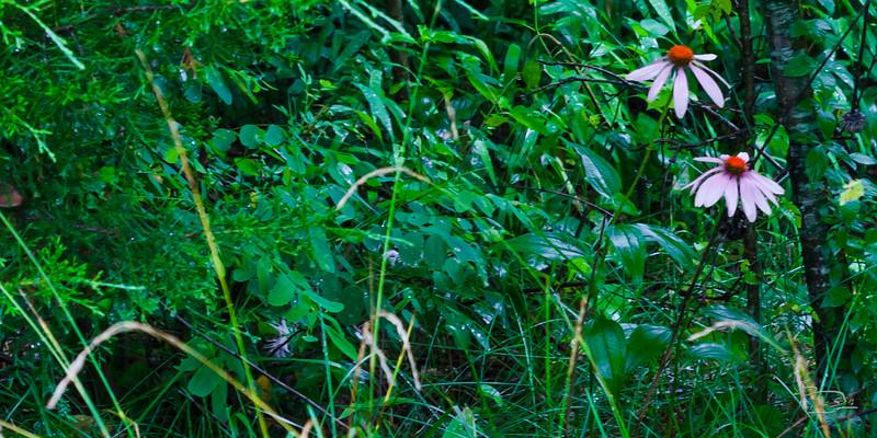 Purple coneflower in the rain