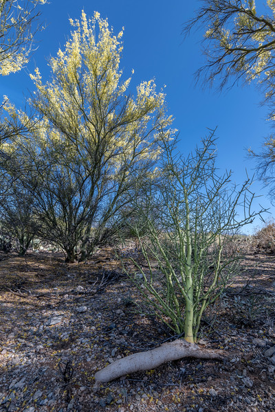 BR - Palo Verde Growing From Root #2