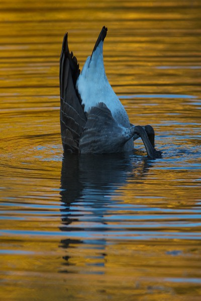 Canada Goose fall color reflection Rock Pond UMD Duluth MN IMG_0067276.jpg