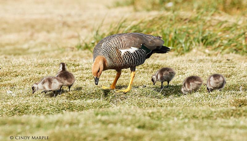 Upland Goose female and goslings
