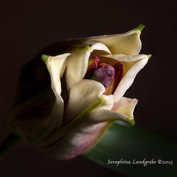 4456 Center tip lily .jpg