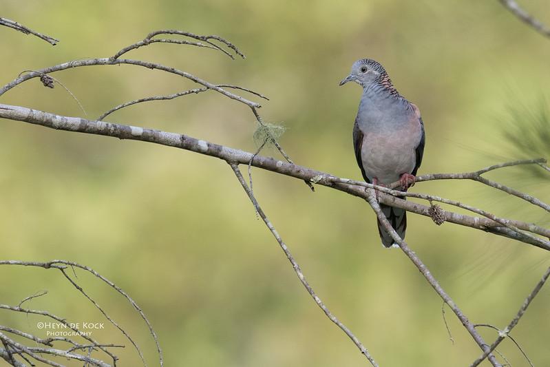Bar-Shouldered Dove, Mudgeeraba, April 2017.jpg