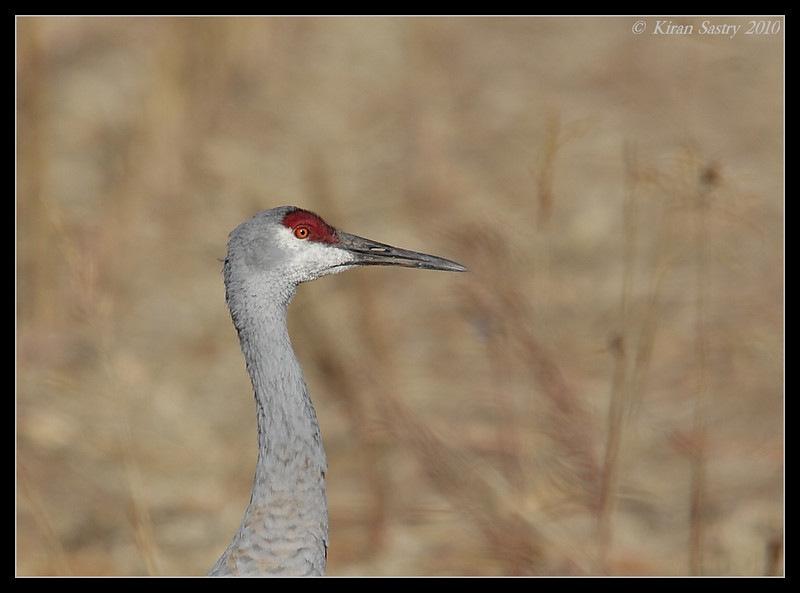 Sandhill Crane, Bosque Del Apache, Socorro, New Mexico, November 2010