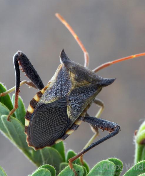 A Mozena mesquite bug perches on its host-plant.  Arizona, USA.  filename: Mozena1