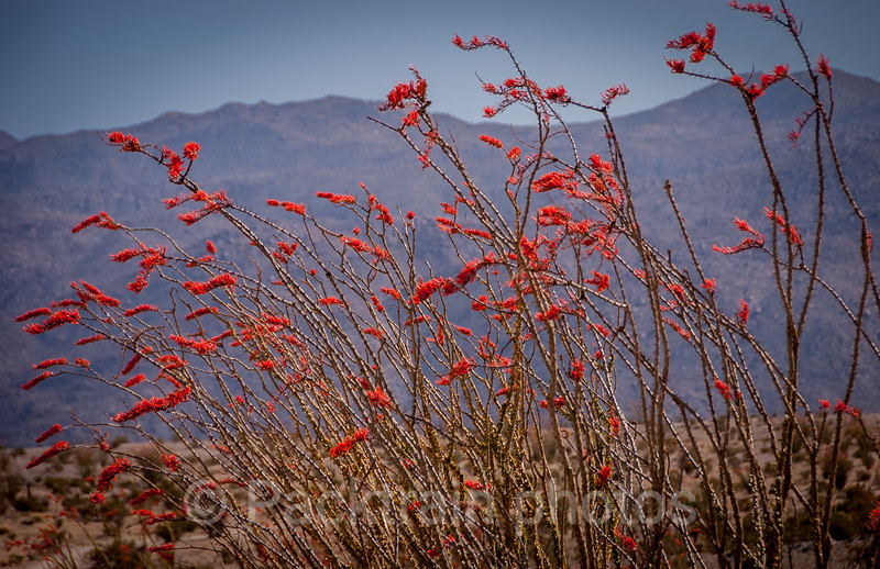 Red Ocotillo Flurry - ROF1