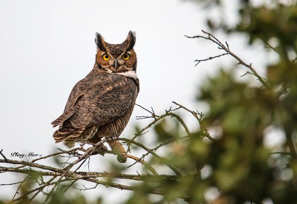 Great Horned Owl_DWL0424.jpg