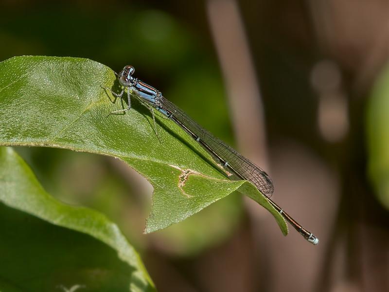 Orange Bluet (Enallagma signatum), female