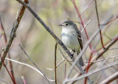 Flycatcher - Willow FLycatcher