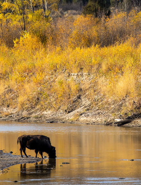 Bison along Little Missouri River Theodore Teddy Roosevelt National Park Medora ND IMGC0822-2.jpg