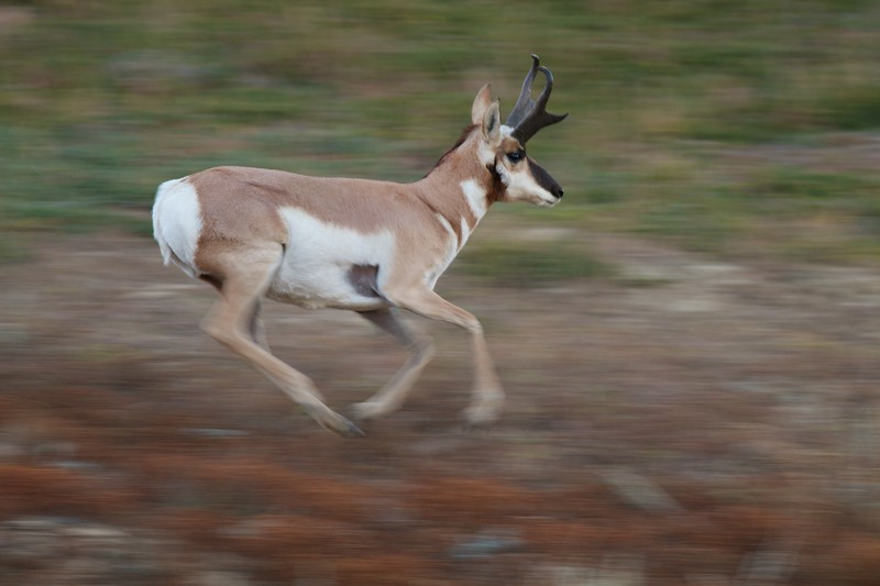 Pronghorn speed blur Theodore Roosevelt NP South Unit ND IMG_0029738.jpg
