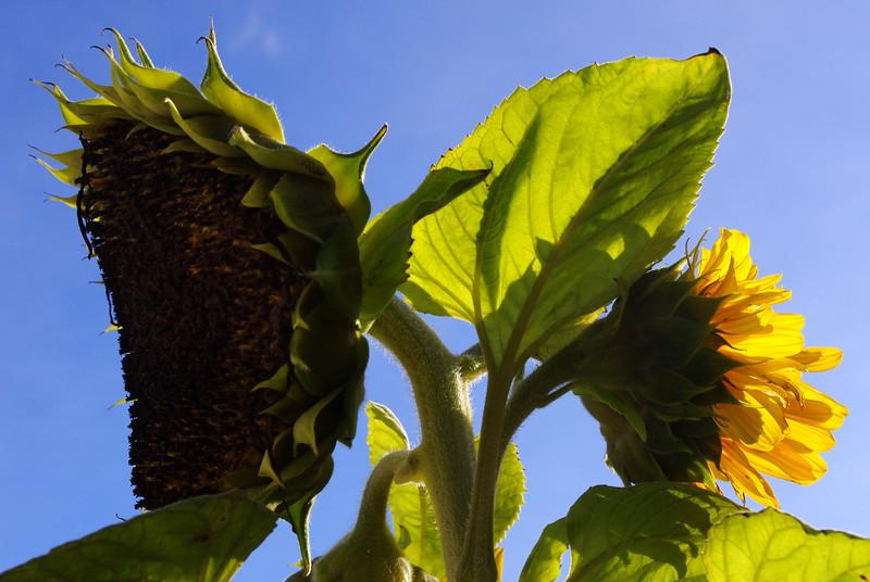 Rosemary - sunflower.jpg