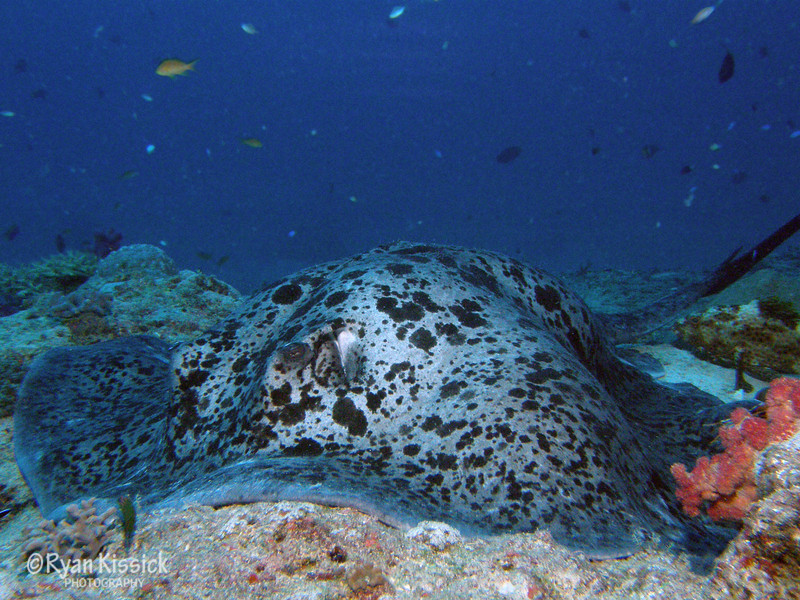 Large stingray resting on bottom