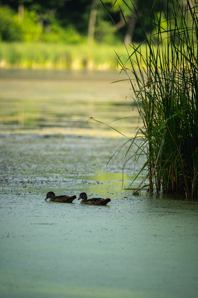 baby ducks floating in a lake near reeds