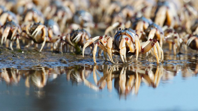 Soldier Crabs marching MASTER.jpg