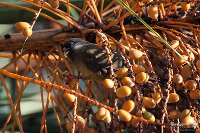 Speckled Mousbird
