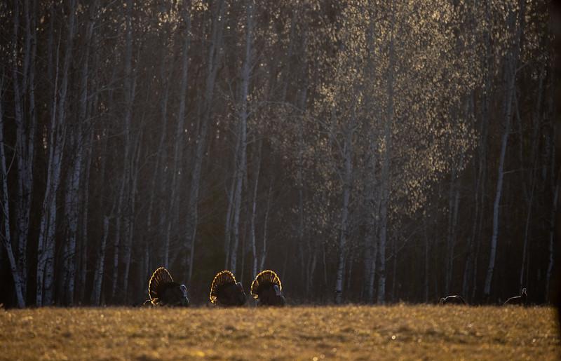 Wild Turkey flock displaying male toms courtship Skogstjarna Carlton County MN  IMGC5763.jpg
