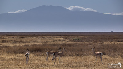 Grant's Gazelle in the Serengeti