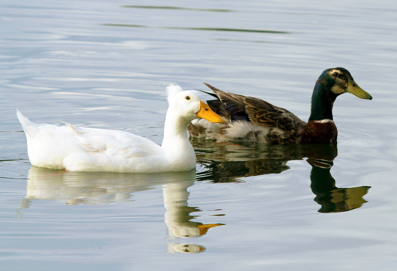 whiteandbrownduckswimming.jpg