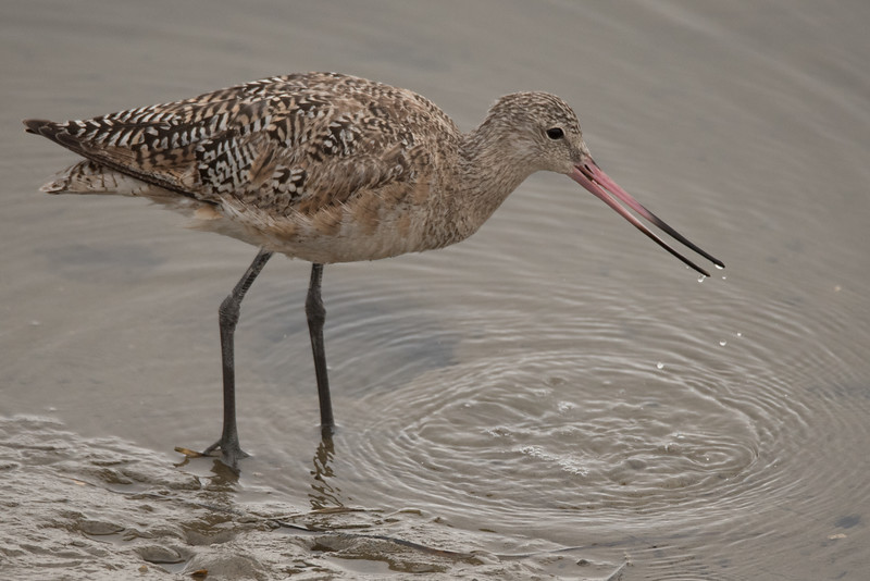 Marbled Godwit swallowing a morsel it just captured.