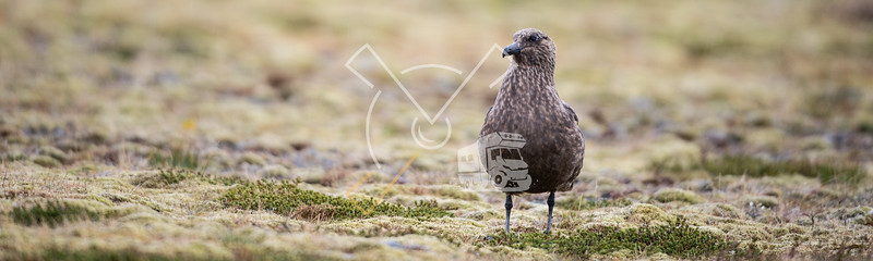 Great skua acting territorial in the rain.