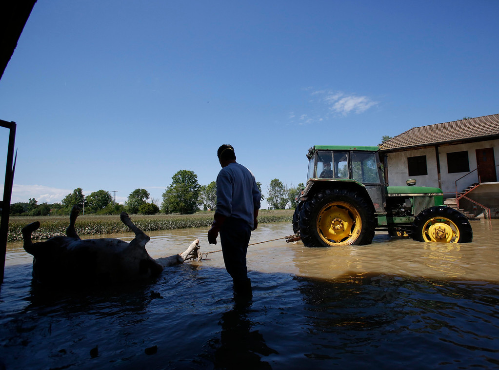 . A dead cow is towed away to taken by the Bosnian military  from a farm near the Bosnian town of Bosanski Samac along river Sava, 200 kms north of Bosnian capital of Sarajevo, on Tuesday, May 20, 2014. A new calamity emerged Tuesday in the flood-hit Balkans even as emergency workers battled overflowing rivers and evacuated thousands: tons of drowned livestock were posing a health hazard.  With the rainfall stopping and temperatures rising, the withdrawing floodwaters revealed a harrowing sight: thousands of dead cows, pigs, sheep, dogs and other animals that were left behind after their panicked owners fled rapidly advancing torrents.  (AP Photo/Amel Emric)