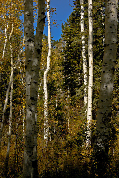 A wonderful look at golden  Aspens mixed in pine.  Alpine Loop, Utah