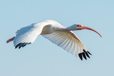 An Ibis in flight.