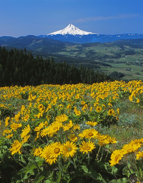 Balsamroot in riotous bloom above the Hood River Valley with Mt. Hoot standing guard in the distance.