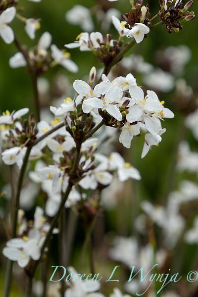Libertia chilensis_6990.jpg