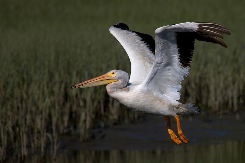 American White Pelican flight series (frame 12)