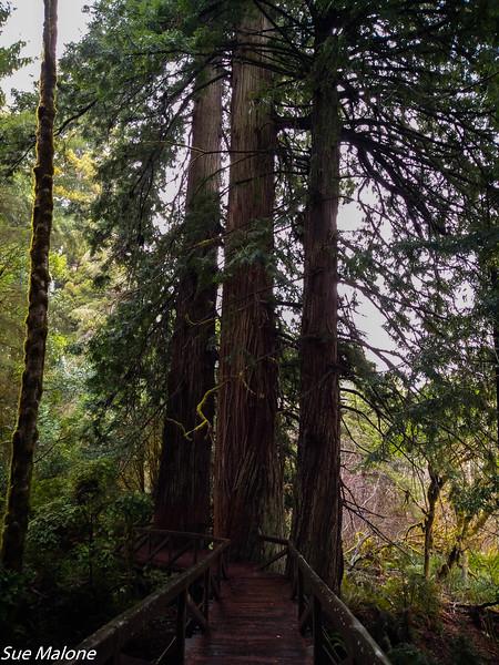 02-13-2021 Redwoods and Coast from Deborah-19.jpg