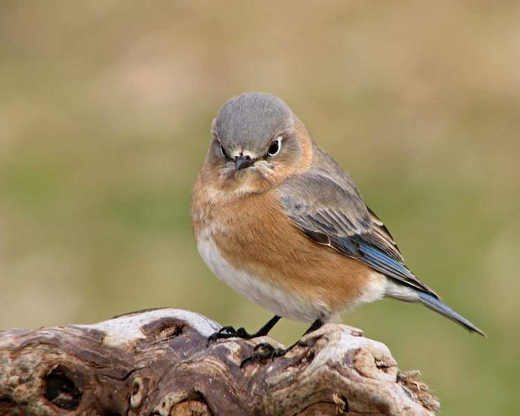 bluebird_1682.jpg