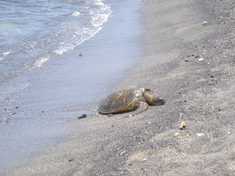Turtle on the beach - Hawaii