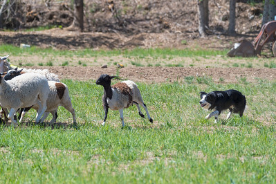 Ranch Trial - Sheep