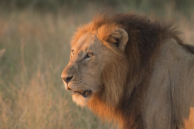 Lion Male at sundown