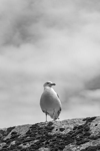 Seagull - Le Mont-Saint-Michel, France - August 14, 2018