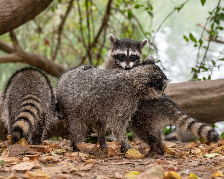 Raccoon Family (Procyon lotor)