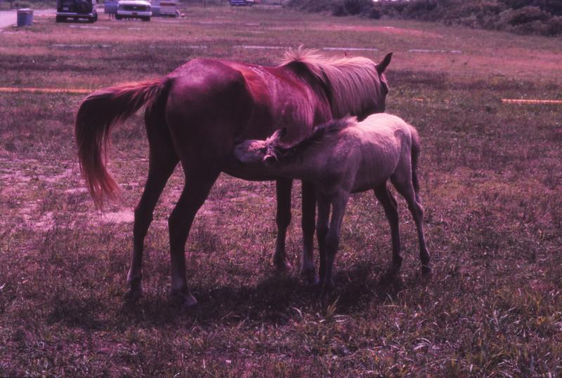Chincoteague 1981-07 014.jpg