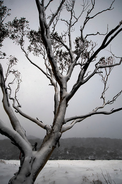 Pam snowy tree Sponars.jpg