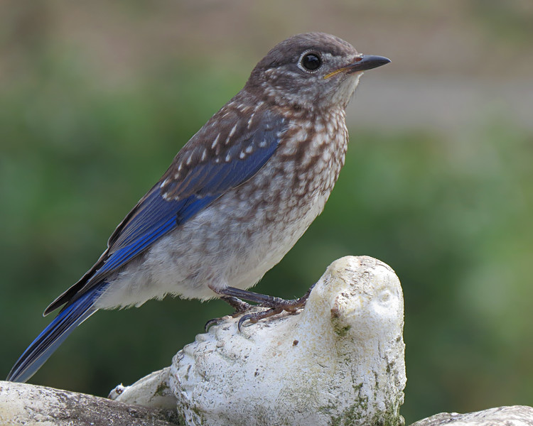 sx50_bluebird_fledgling_boas_224.jpg