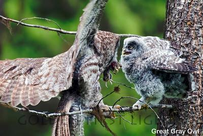Great Gray Owl, Spring Creek La Grande OR, USA